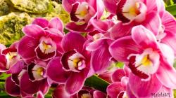 Orchids MalalaSR